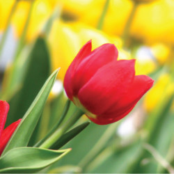 tulalip_tulips-01-e1453406285538.jpg