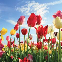 fraser valley, tulips, festival, abbotsford