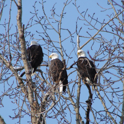 Harrison Hot Springs, eagle watching, nature