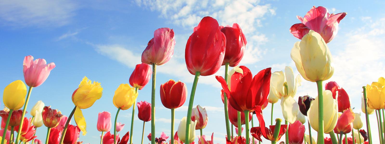 tulipsSlider