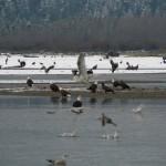 fraser river safari tours, eagles, wildlife wiewing