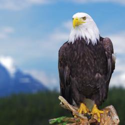 eagle watching, harrison hot springs, fraser river safari, boat cruise, kilby, sturgeon watching